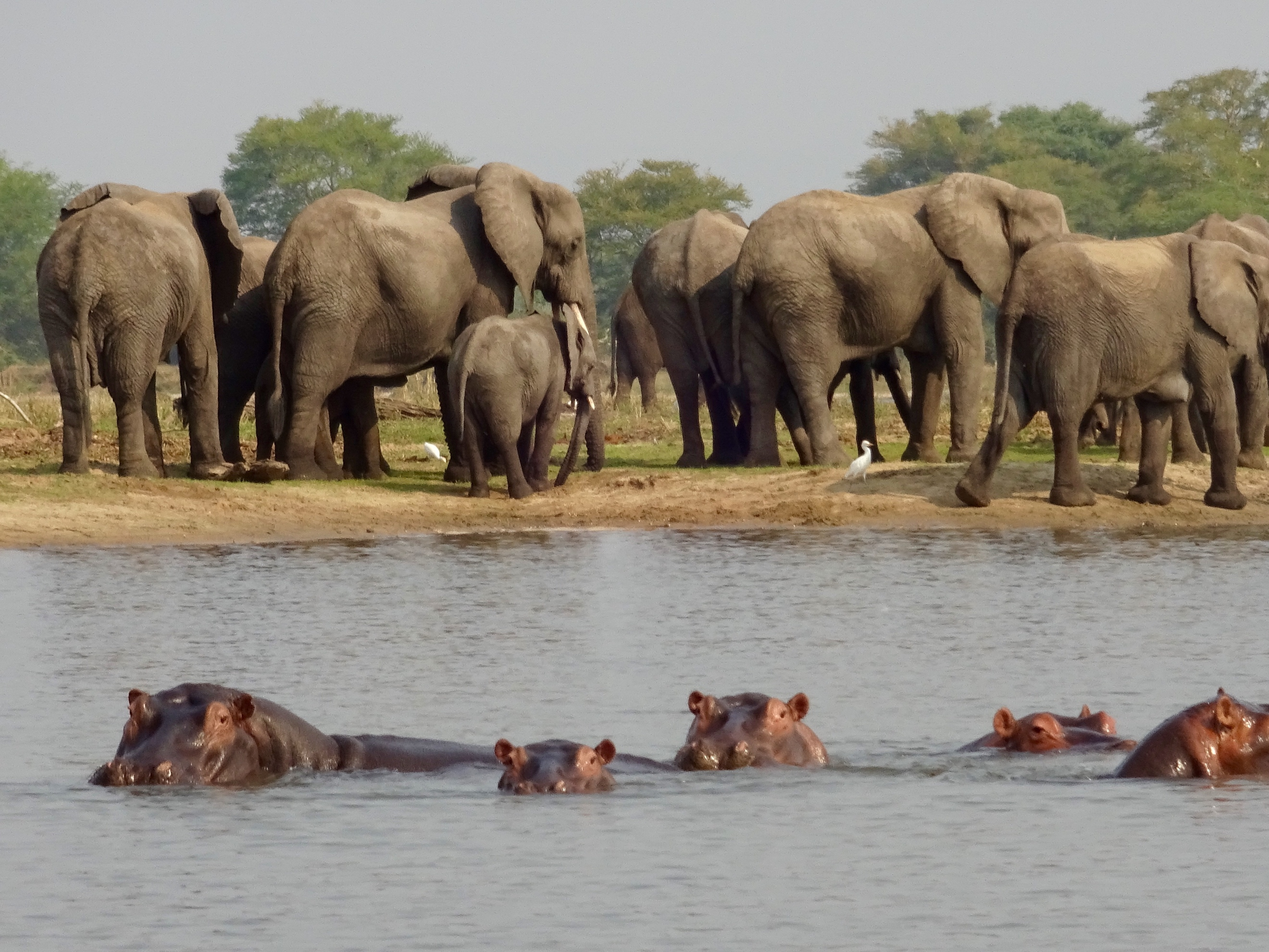 Elephants and Hippos in Malawi